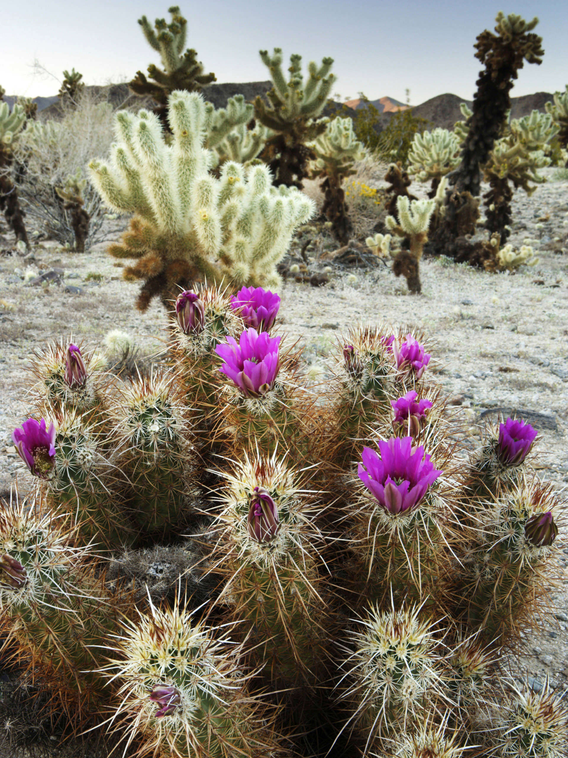 Blooming cacti in Joshua Tree