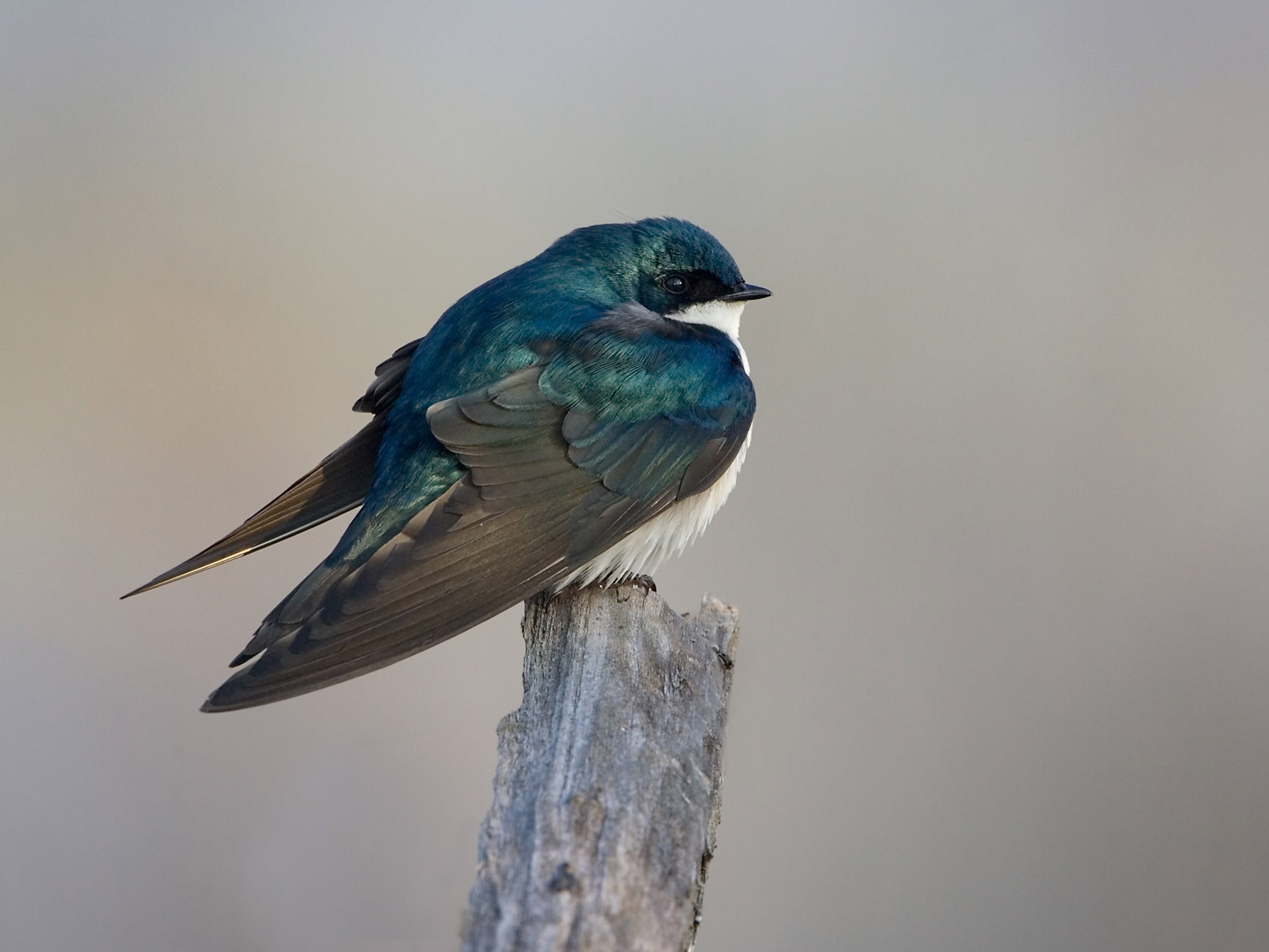 A tree swallow in Cuyahoga Valley