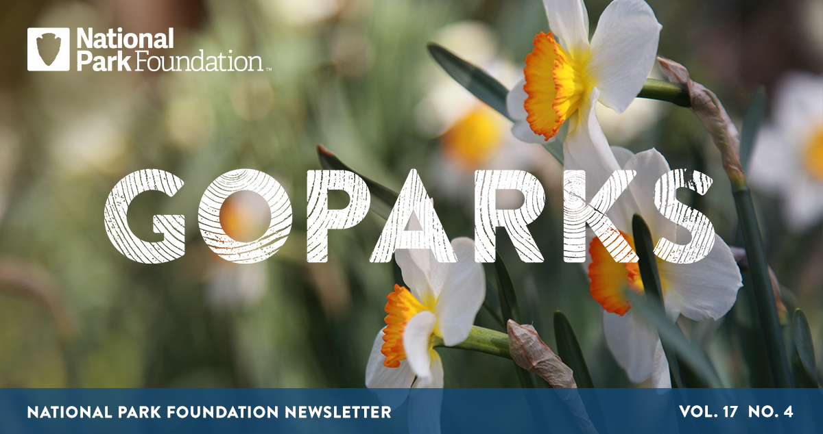 National Park Foundation, GoParks newsletter graphic cover image of a close up image of white and yellow daffodil flowers at Kenilworth Park and Aquatic Gardens