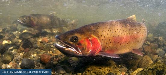 cutthroat trout swimming underwater in yellowstone national park