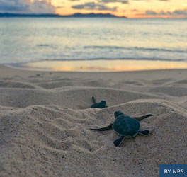 two turtle hatchlings head towards the ocean through the sand on Buck Reef Island National Monument