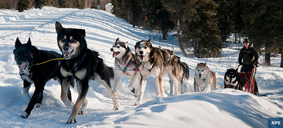 Sled dogs running in snow at Denali National Park
