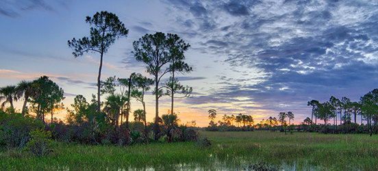 A colorful sunset behind tall, thin trees growing out of the swamp at Everglades National Park