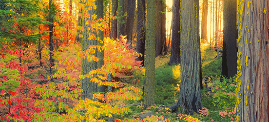 A view into the woods of Yosemite National Park where the trees are dense, the underbrush is lush and green, while the tree leaves are changing from green to bright yellow and red