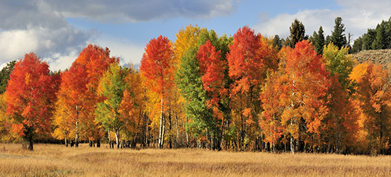 A large cluster of trees with leaves that have turned yellow, orange, and red for fall in Grand Teton National Park