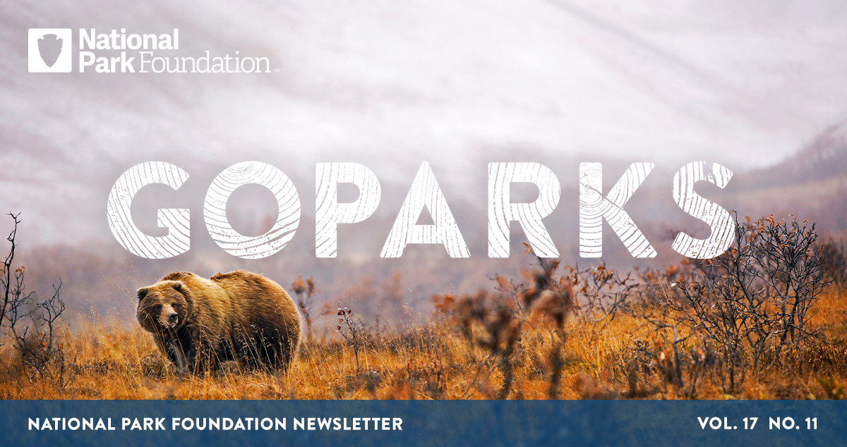 National Park Foundation, GoParks newsletter graphic cover image of a bear walks in the red and orange fall brush with snowy mountains in the distance in Denali National Park and Preserve