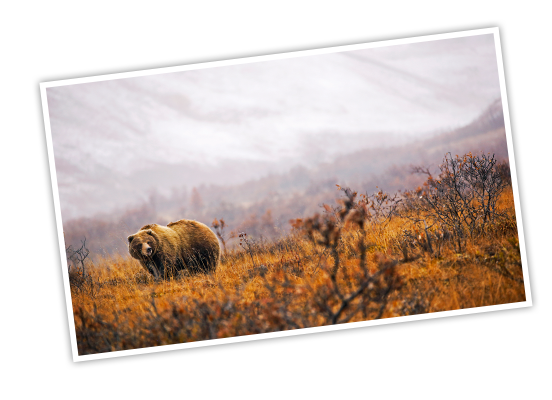 A bear walks in the red and orange fall brush with snowy mountains in the distance in Denali National Park and Preserve