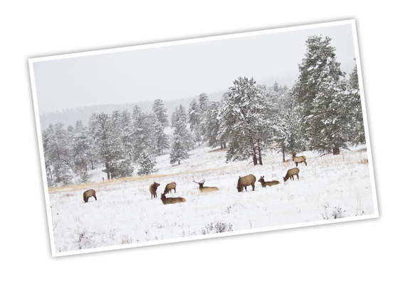 A landscape of Rocky Mountain National Park with elk grazing on grass sticking out of the snow and snow covered evergreen trees and mountains in the background