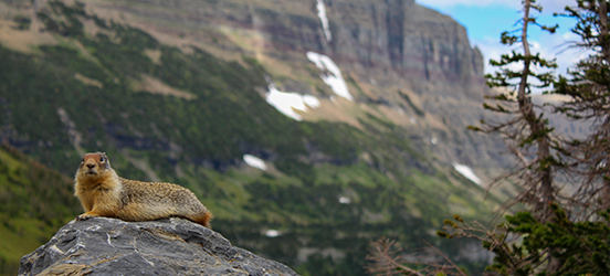 A squirrel lays on a rock against the back drop of mountains in Glacier National Park.
