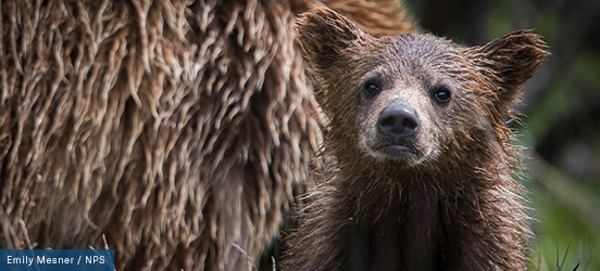 A wet bear cub sits in front of an equally soaking wet adult bear at Denali National Park and Preserve
