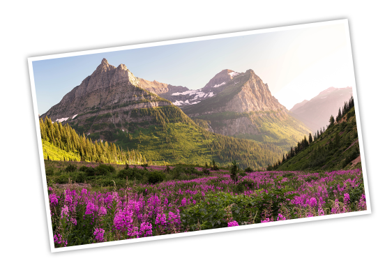 Wild purple flowers covering the foothills with mountains standing tall in the distance at Glacier National Park