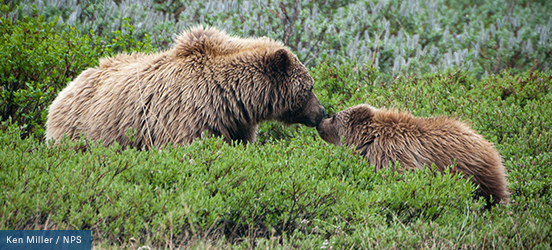 A young brown bear and an adult brown bear touch noses in the green brush in Denali National Park and Preserve