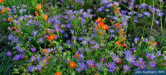 Abundant purple and orange wildflowers carpet El Malpais National Monument