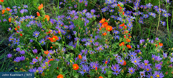 A close up of tall, bushy wildflowers with orange and purple petals