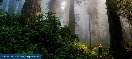 A woman wears a red backpack while standing at the base of large redwood, surrounded by lush, fern-covered, forest ground and sunlight streams through the misty air in Redwood National and State Parks