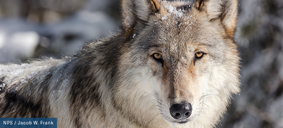 A close up of a wolf's fuzzy, snow dusted face in Yellowstone National Park