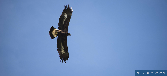 An eagle flies directly overhead, in a clear blue sky, with its wings outstretched