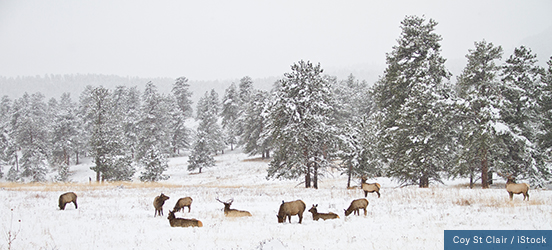 A snowy scene of deer nibbling on vegetation sticking out of the snow-covered ground with snow dusted trees behind them