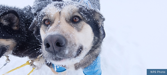 A close up of a snowy dog, connected to a dog sled harness, looking up at the camera