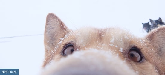 A tan colored dog with snowflakes on its head, sticks its nose in the lense of the camera for an up-close-and-person photo in Denali National Park