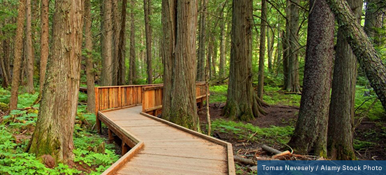 A boardwalk zigzags through a forest of cedars providing a smooth path on the bumpy forest floor in Glacier National Park
