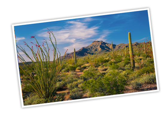 Tall cacti and desert brush covering the ground with a mountain in the distance in Organ Pipe National Monument