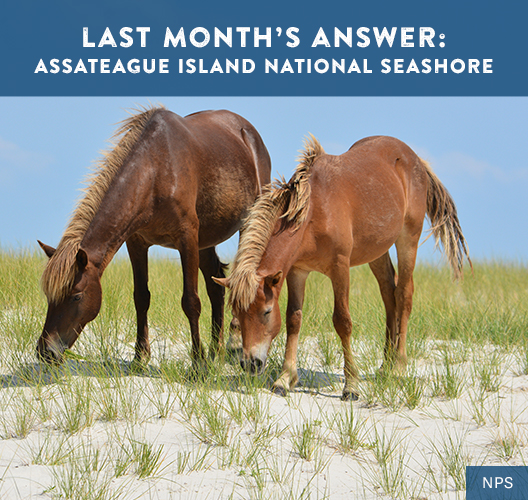 Two horses graze on the grass growing out of the sandy dunes at Assateague Island National Seashore