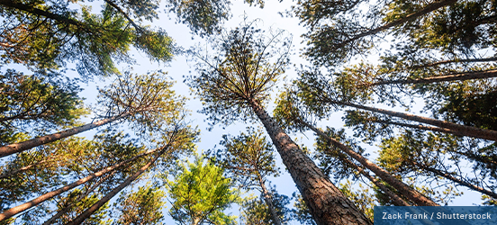 An upward look from the ground at tree tops, they create an interesting pattern with the blue sky as a backdrop