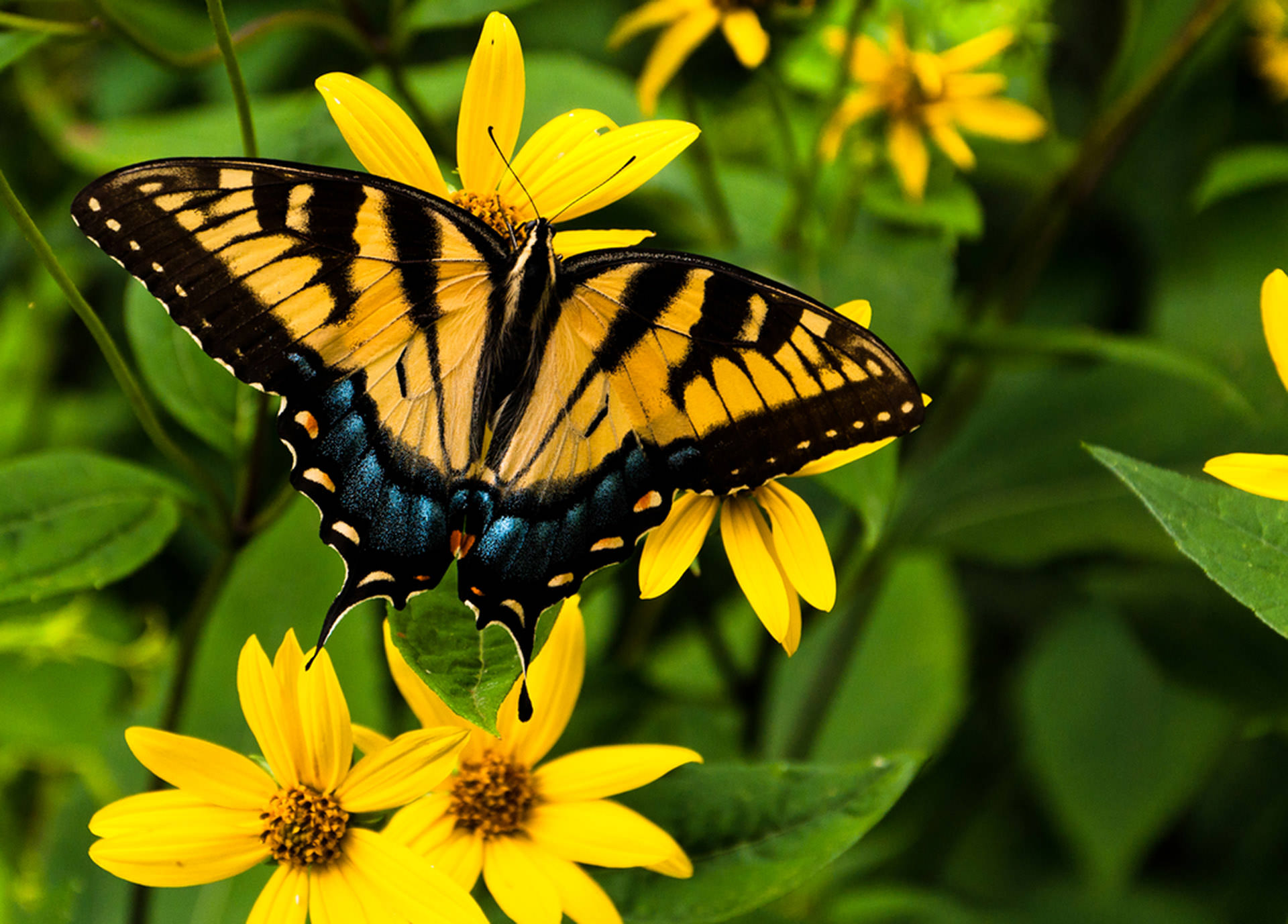 A swallowtail butterfly in Shenandoah National Park