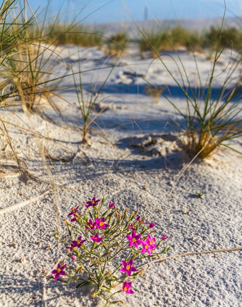 Resilient flowers make their home in White Sands National Park
