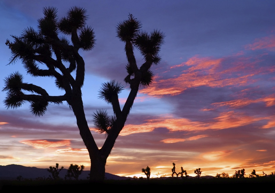 A Joshua Tree against the sunset