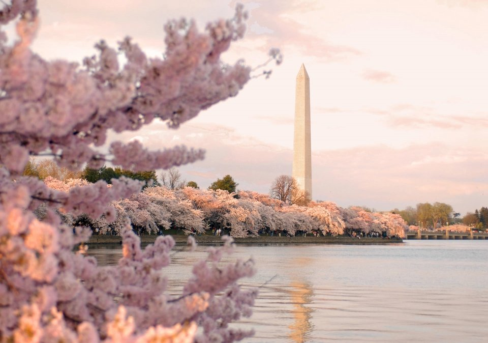 Washington Monument with cherry blossoms in full bloom