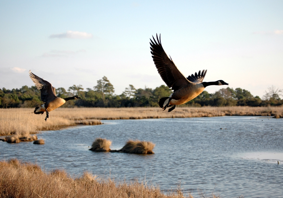 Wild geese take off at Assateague Island