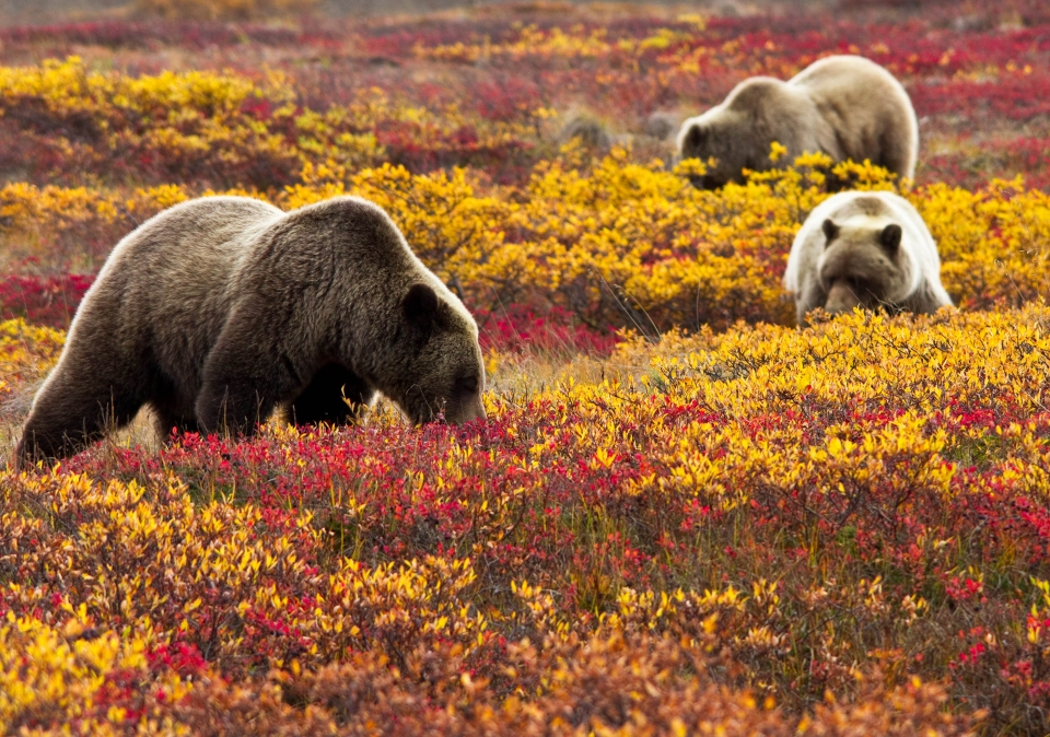 Grizzly bears look for blueberries in Denali