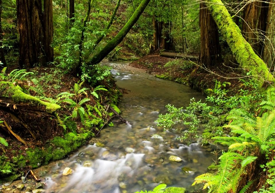 The river rushes through Muir Woods