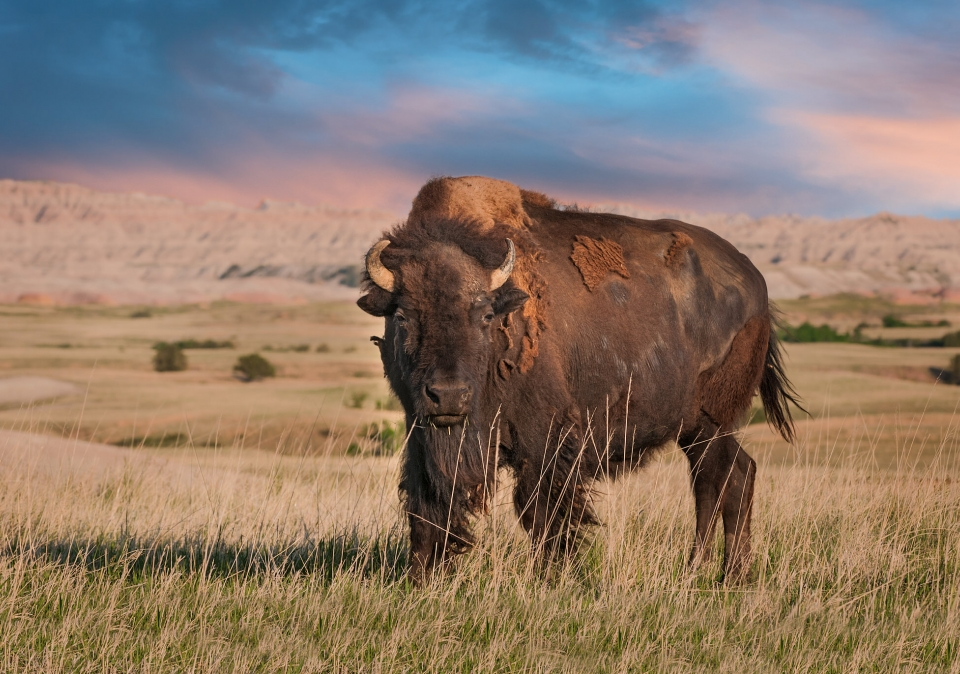 Buffalo staring in the grassy plains of the badlands
