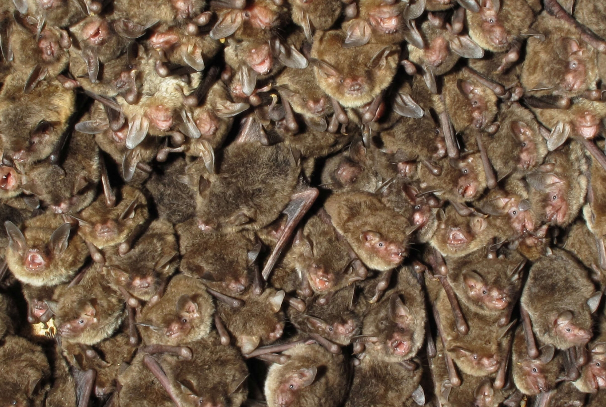 Bats huddled on the ceiling of a cave