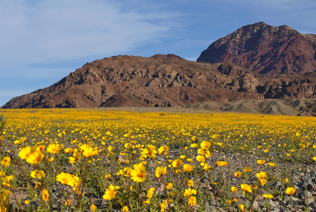 Yellow flowers blooming in Death Valley National Park