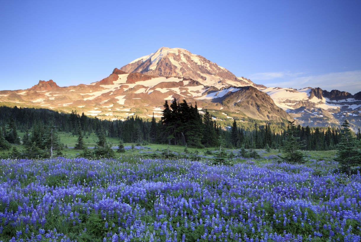 A field of purple flowers in front of a sun-lit Mount Rainier