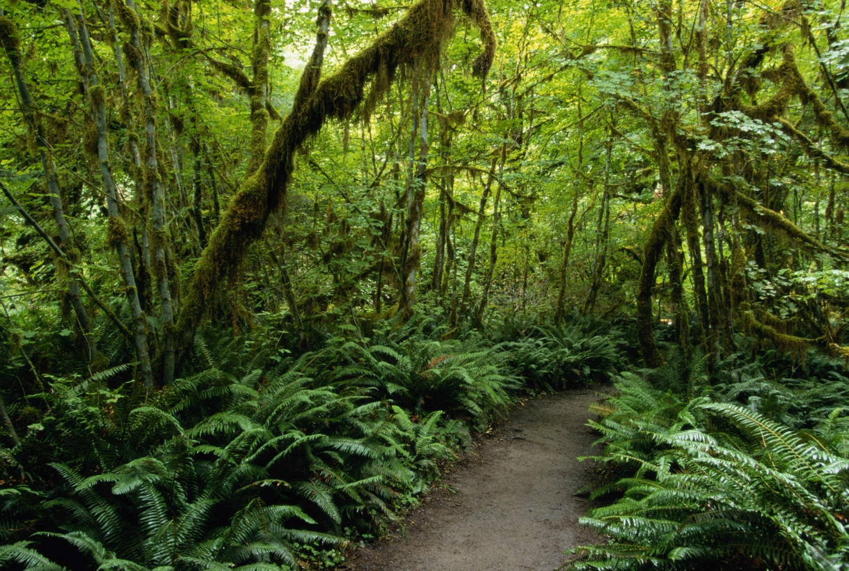 Tunnel of green, mossy trees surrounded by ferns at Olympic National Park