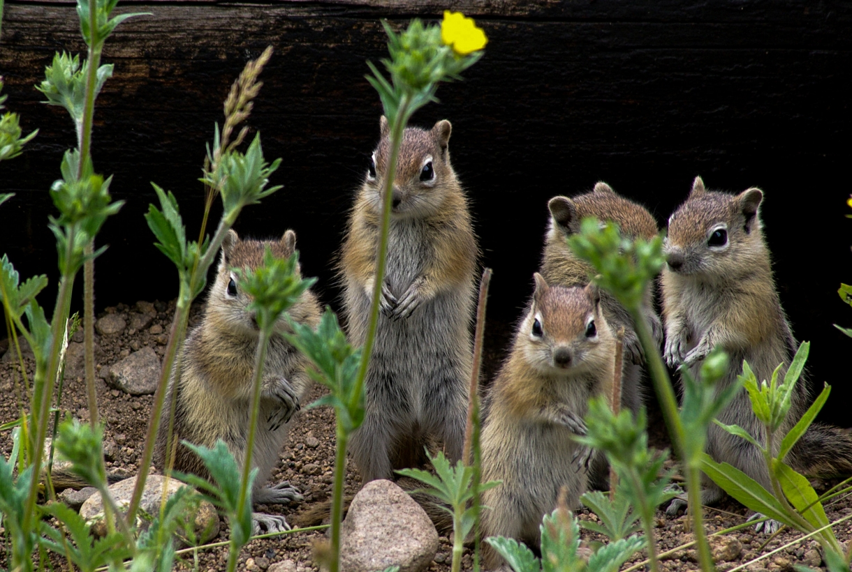 A family of ground squirrels at Rocky Mountain National Park