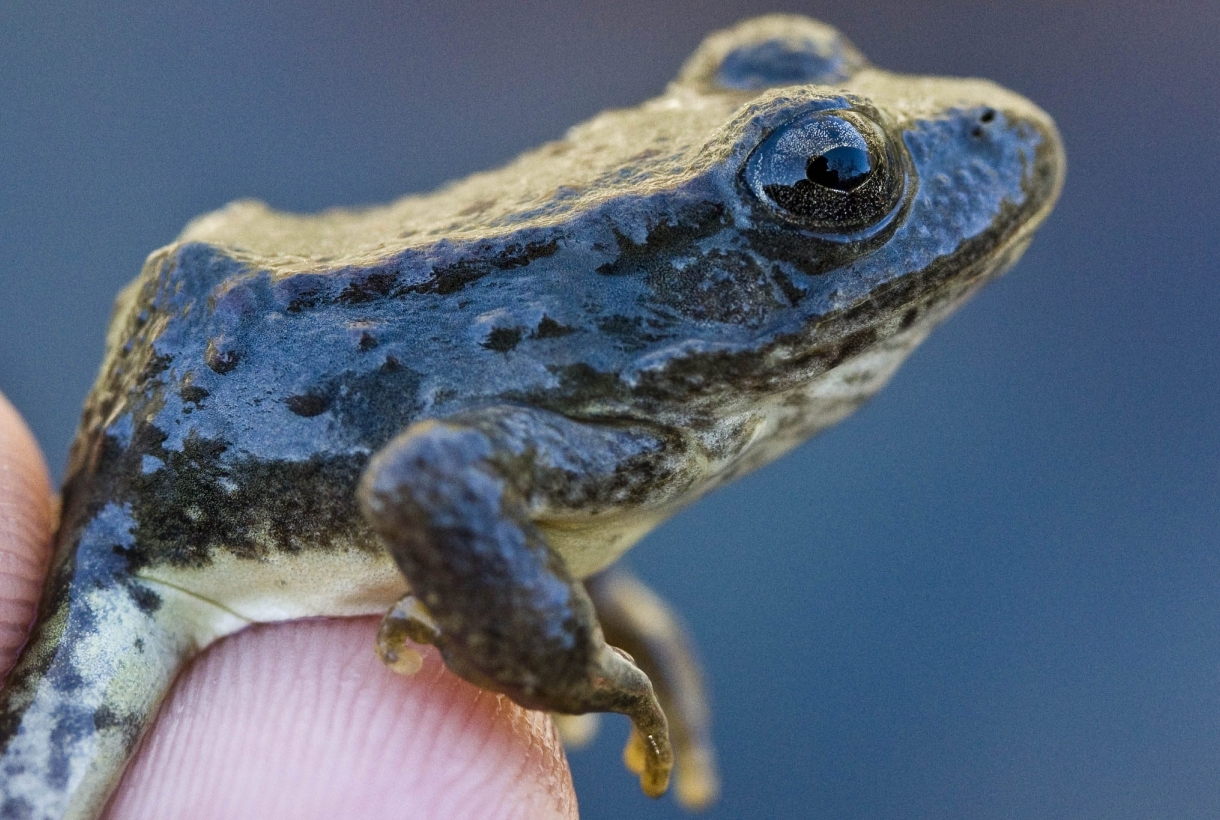 This frog is now protected at Yosemite thanks to NPF.