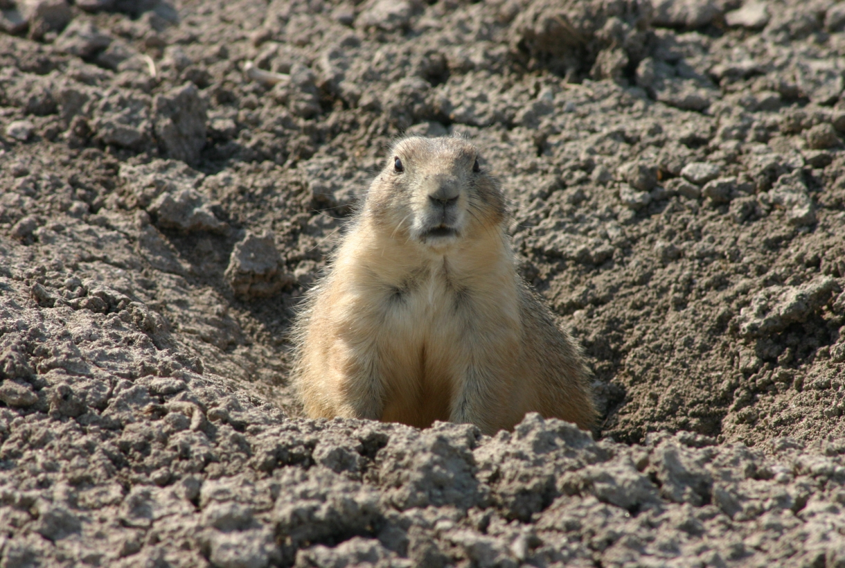 A prairie dog guarding its hole in badlands national park