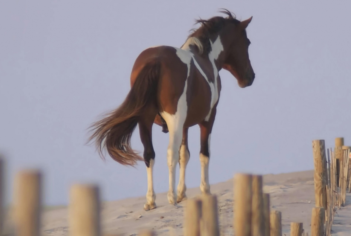 Wild horse roaming Assateague dunes