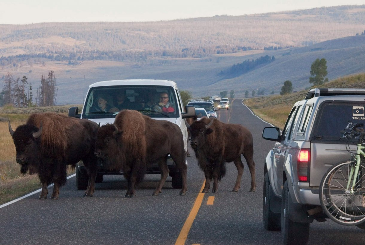 Car surrounded by bison