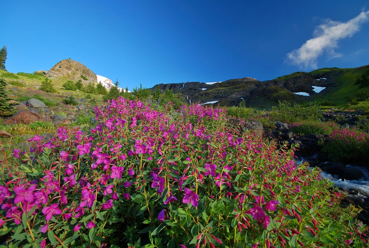 Image of North Cascades Park with fuscia flower field