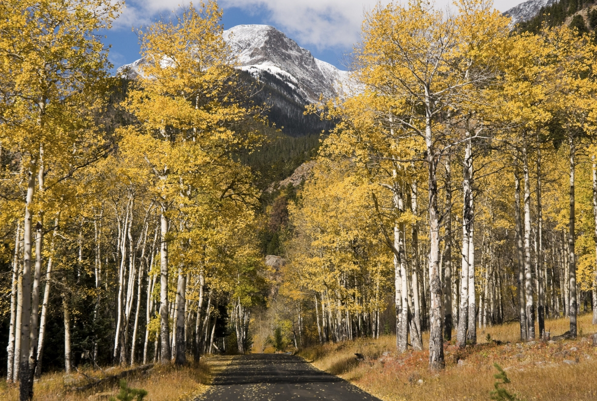 Yellow aspen trees at Rocky Mountain National Park