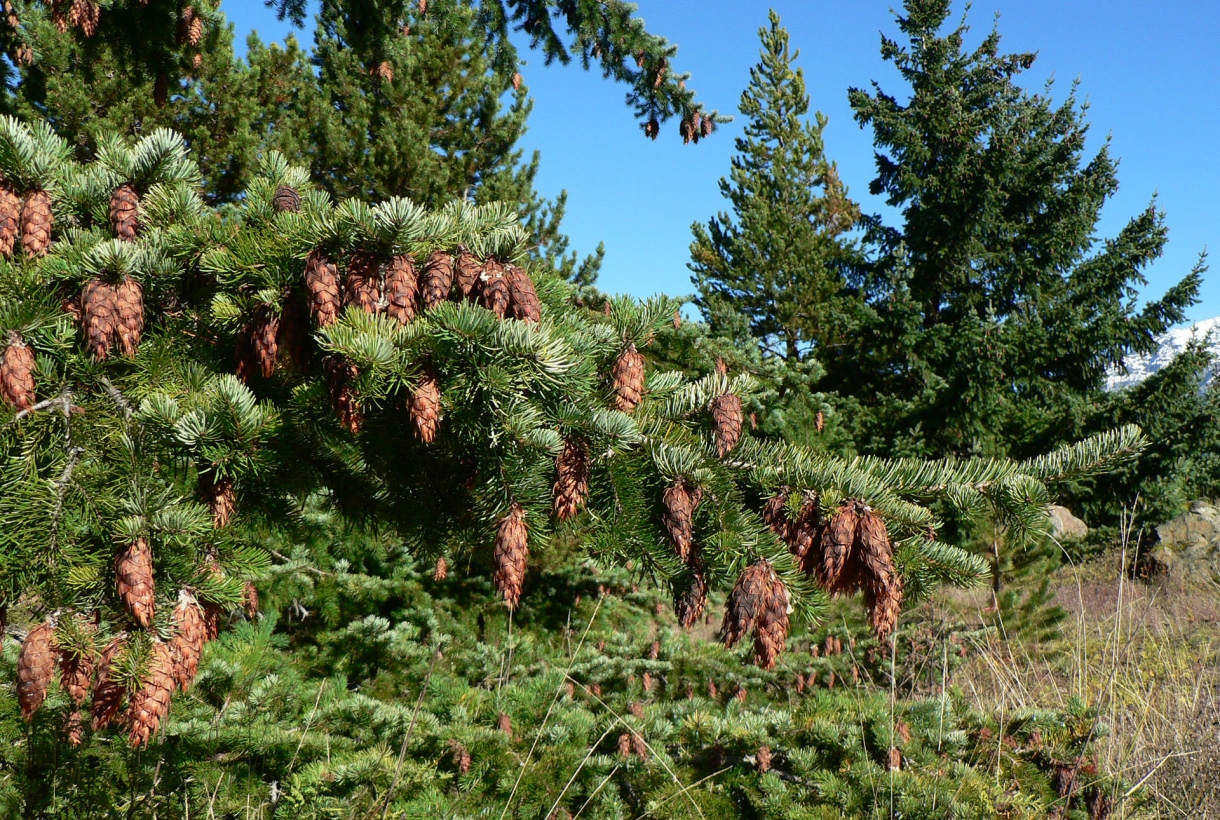 pine cones and pine tree branch