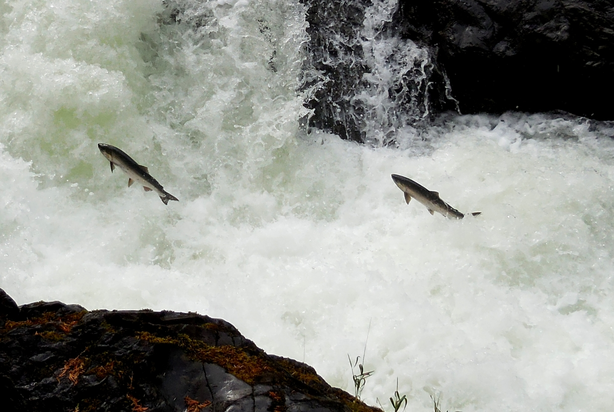 Salmon jumping up Cascades Fall at Olympic National Park