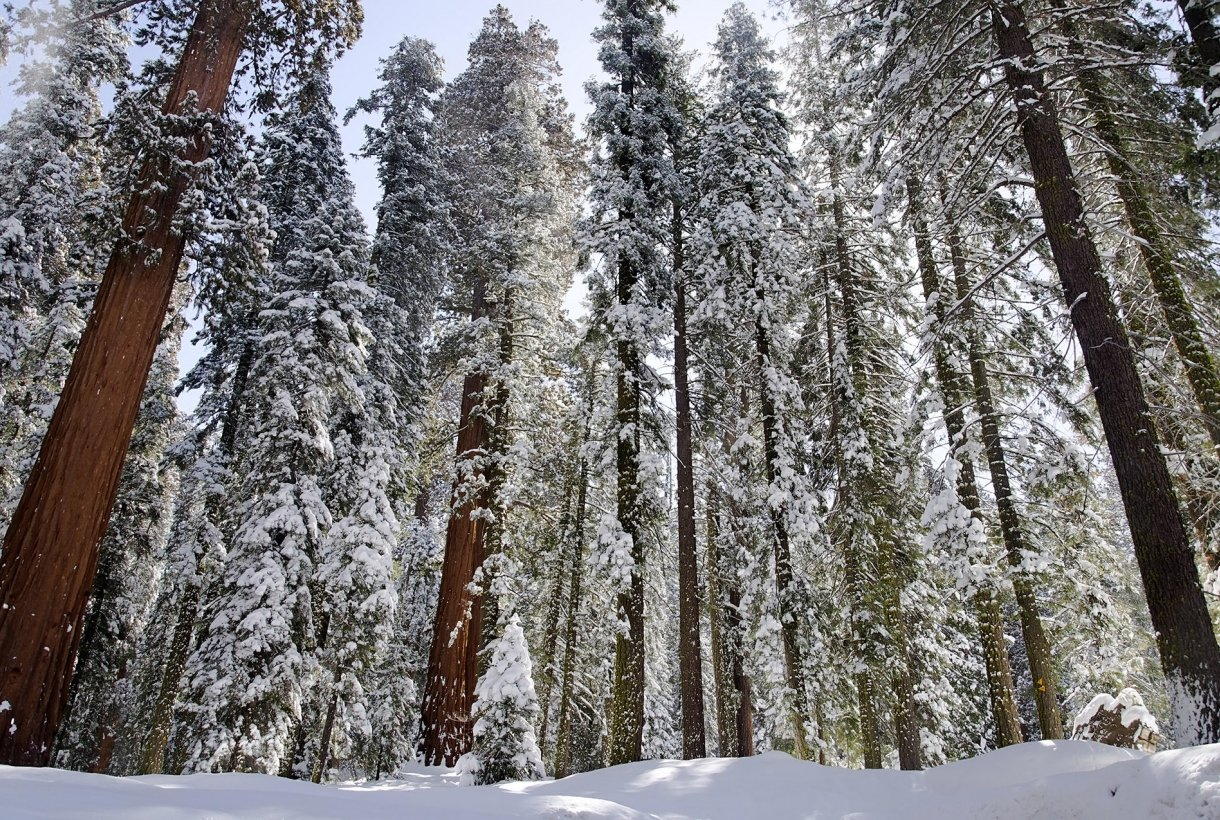 snow covers giant sequoia trees